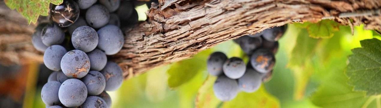 Описание сорта винограда красень — как поднять урожайность