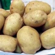 Картофель колетте – все о выращивании представителя немецкой селекции
