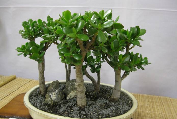 Денежное дерево — уход в домашних условиях и цветение