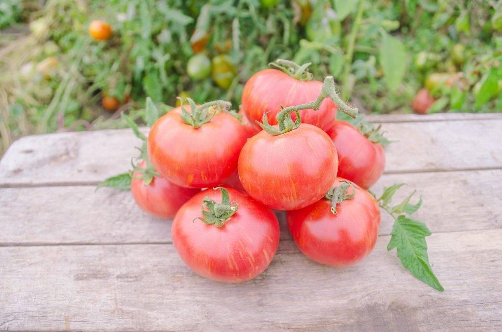 Характеристика сорта томатов Таис