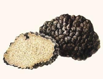 Грибы трюфели: описание видов, места сбора и особенности выращивания