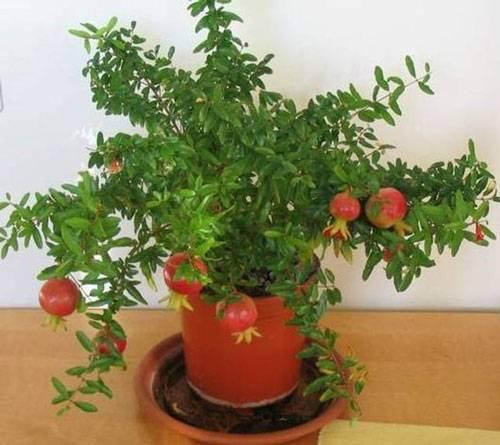 Комнатный гранат бейби: выращивание из семян и особенности ухода selo.guru — интернет портал о сельском хозяйстве