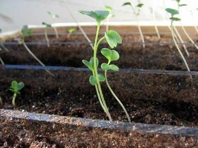Как вырастить рассаду капусты в домашних условиях разными способами: когда сеять, особенности ухода с видео, лунный календарь 2019