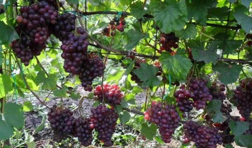 Описание винограда сорта кардинал и правила выращивания