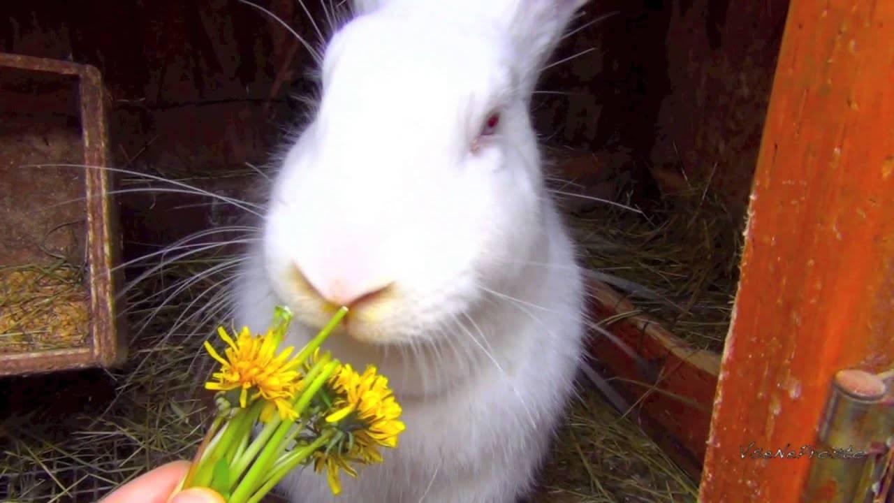 Можно ли давать кроликам одуванчики