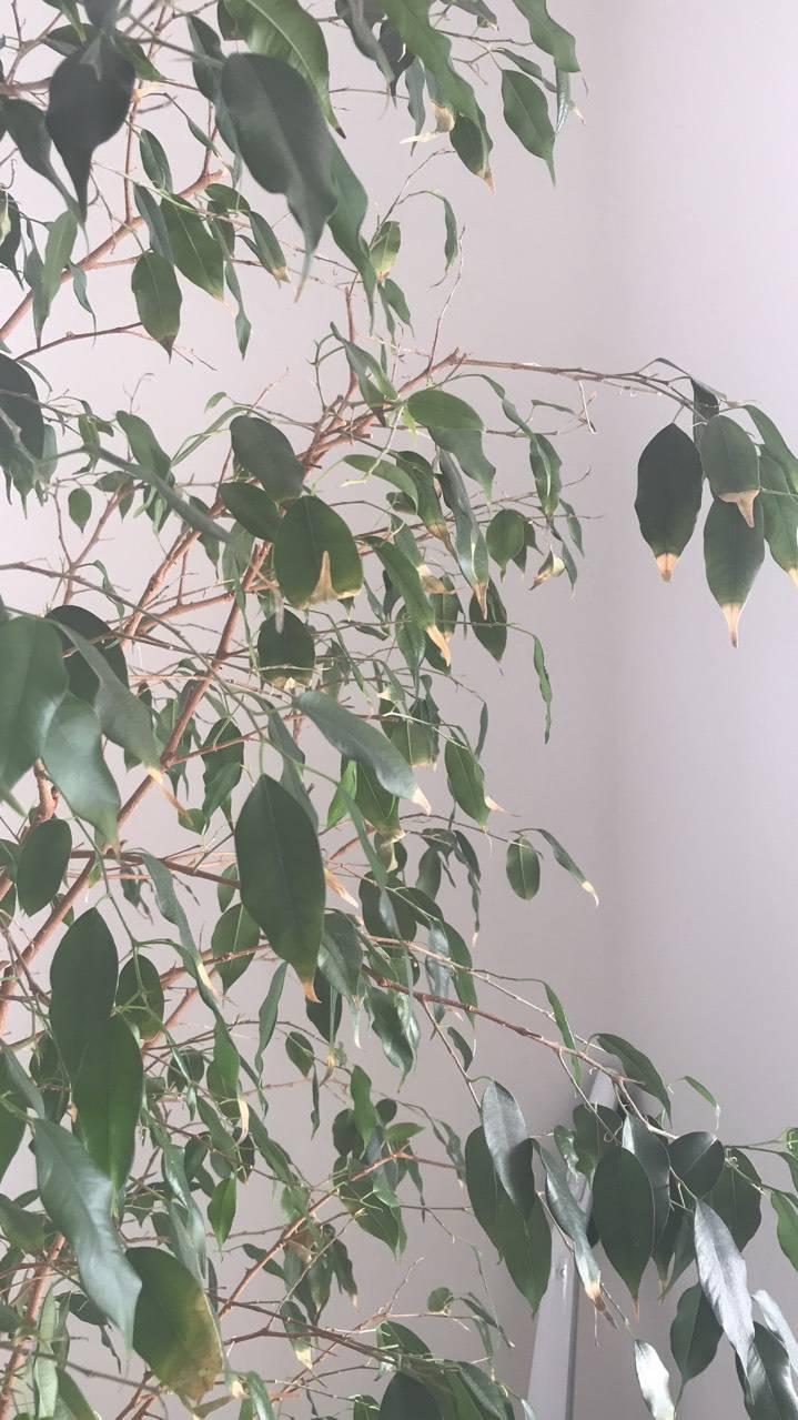 У фикуса бенджамина опадают листья — как спасти растение