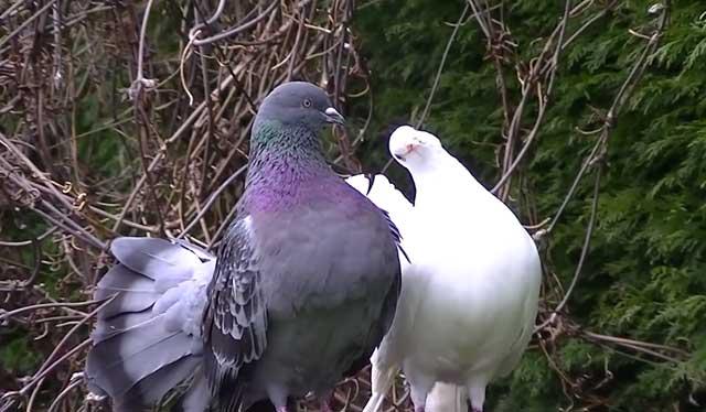 Как определить пол голубя — отличия между самцом и самкой