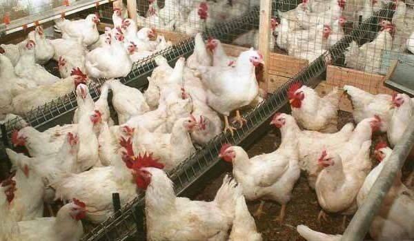 Бизнес на бройлерный цыплятах (март 2021) — vipidei.com