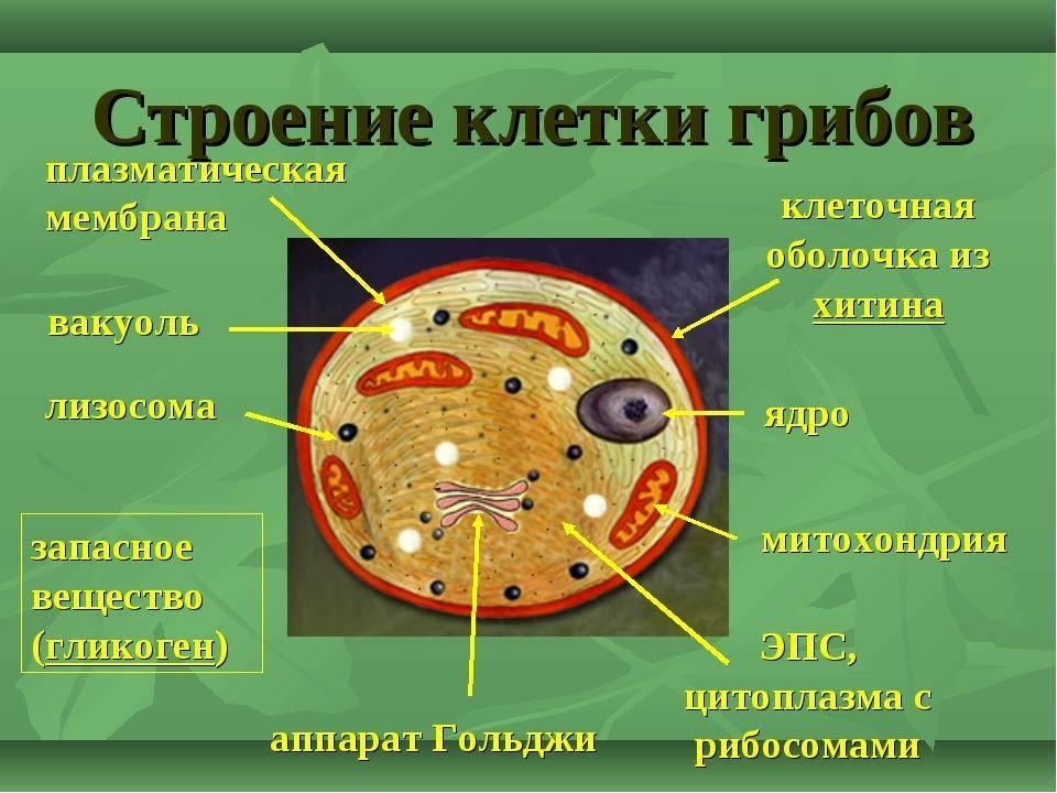 Чем грибы отличаются от растений и других организмов