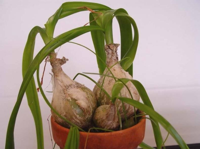 Китайский лук: лечебные свойства, выращивание в домашних условиях, применение для лечения китайской луковицей, цветок