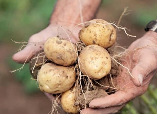 Картофель голубизна: характеристика сорта, когда убирать, вкусовые качества