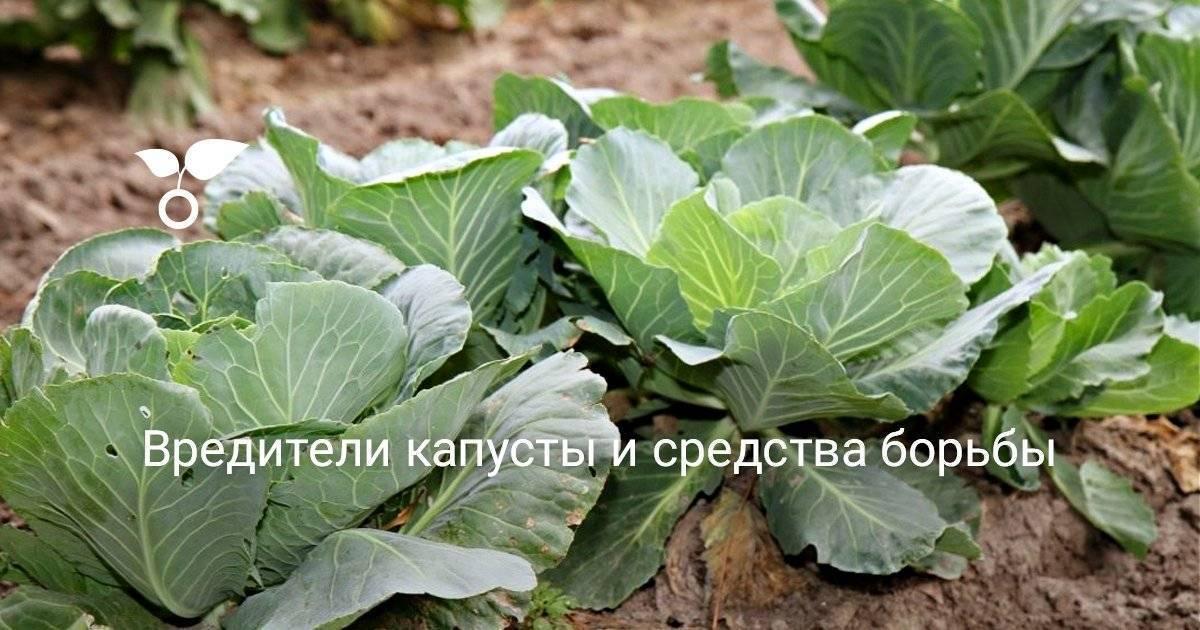 Какими народными средствами обрабатывают капусту от вредителей?