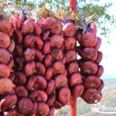 Ялтинский лук: как отличить от подделки, как правильно выбрать крымский лук, особенности его выращивания