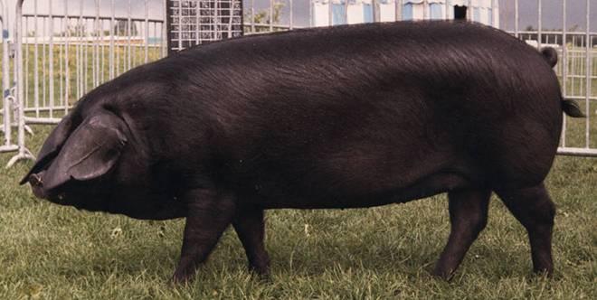 ᐉ миргородская порода свиней: характеристика, фото, особенности содержания, плюсы и минусы - zookovcheg.ru