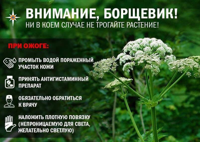 Борщевик сибирский + фото