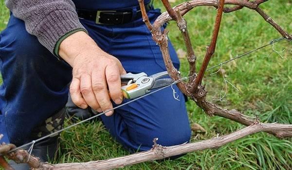Как укрыть виноград на зиму, в том числе в средней полосе, сибири, подмосковье и других регионах