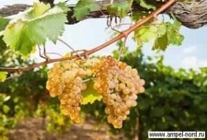 Отрывок из книги «винные регионы франции»: виноделие бургундии