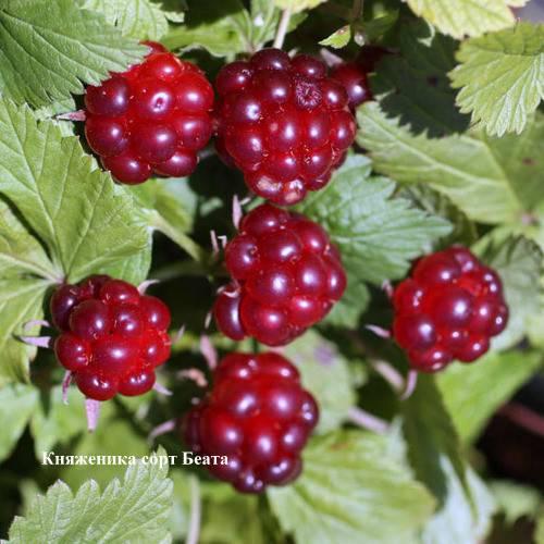 Княженика: редкая русская ягода, места произрастания, описание, фото, сорта и способы выращивания