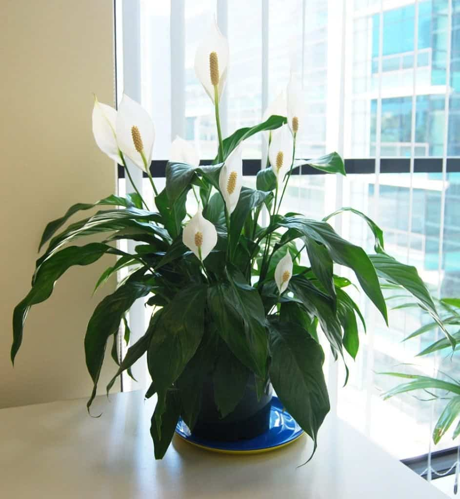 Спатифиллум  - уход в домашних условиях, описание видов, цветение, видео