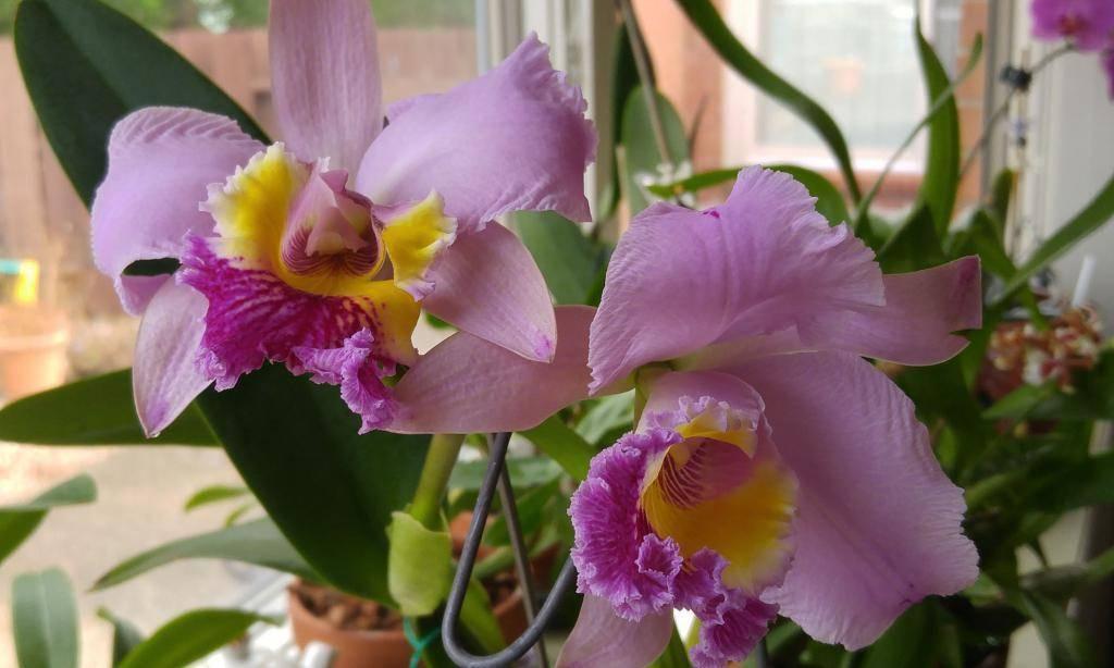 Как избавиться от мучнистого червеца на орхидее? 10 фото как с ним бороться в домашних условиях? чем можно обработать растение? лечение цветка химическими и народными средствами