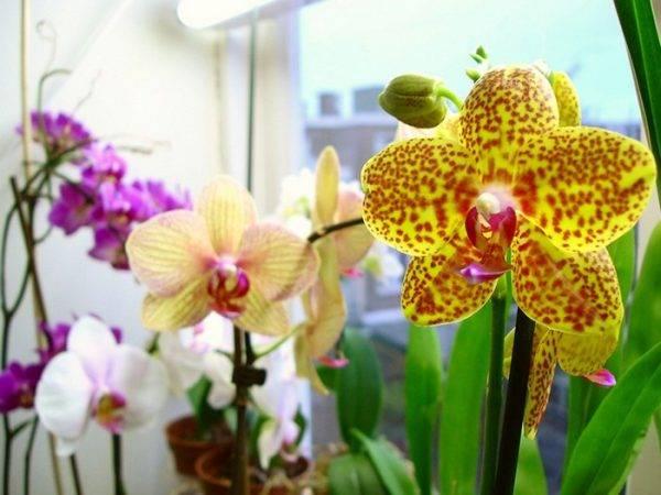 Почему не цветет орхидея после пересадки и что с этим делать?
