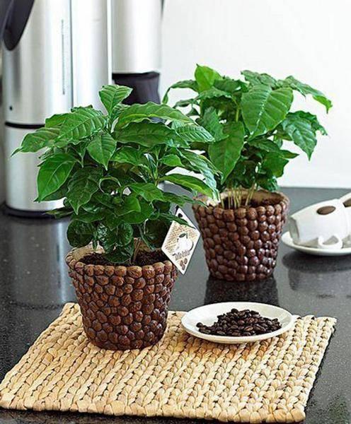 Как вырастить кофейное дерево дома. уход за кофейным деревом в домашних условиях   дачная жизнь