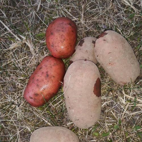 Картофель родриго: описание сорта, характеристика, отзывы