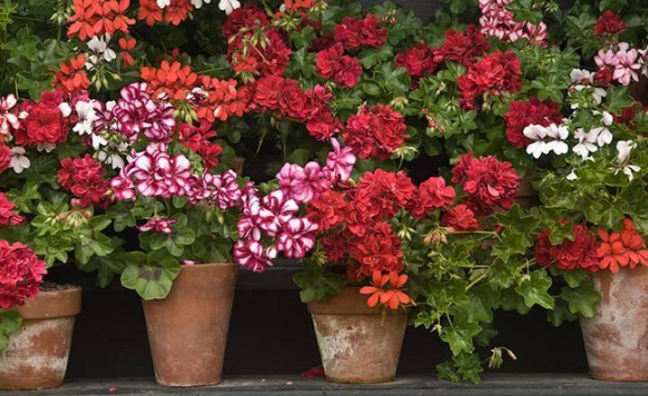 Почему не цветет герань в домашних условиях — что делать