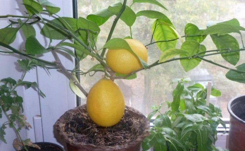Лимон из косточки в домашних условиях - как вырастить правильно? 110 фото и видео мастер-класс