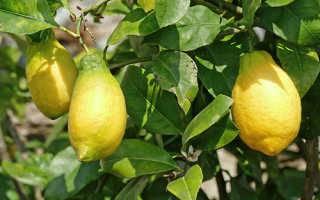 Описание лимона лунарио: характеристика и советы по уходу