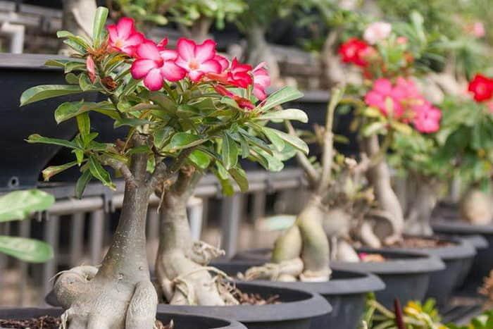 Адениум: уход в домашних условиях за оригинальным эффектным растением
