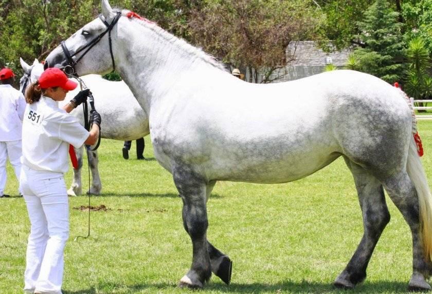 Описание лошади породы Першерон