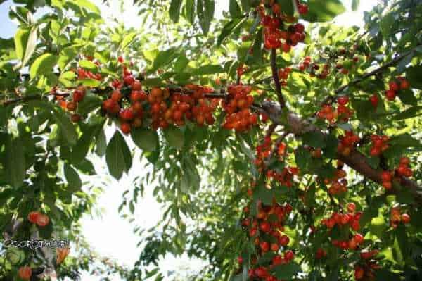Посадка, выращивание и уход за черешней в сибири