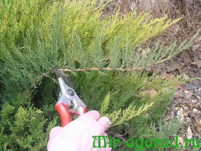 Размножение можжевельника черенками: правила черенкования можжевельника в домашних условиях весной, летом и осенью. как укоренить черенок в банке с водой и посадить?