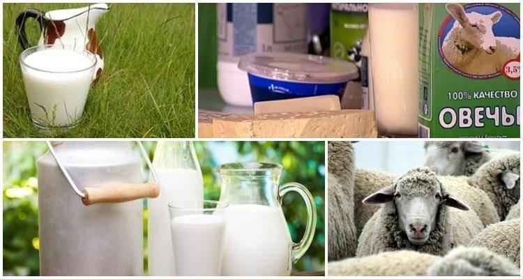 Полезные свойства и вред овечьего молока: состав, калорийность и применение