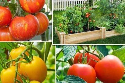 Что посадить после томатов на следующий год?