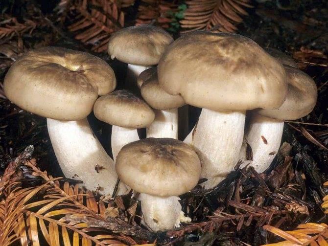 Майский гриб (рядовка, калоцибе майский, майка, георгиев гриб) и его фото