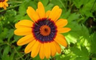 Диасция: выращивание из семян, фото, особенности ухода, советы и рекомендации - sadovnikam.ru