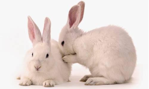 Стоматит у кролика — лечение и профилактика, чем лечить инфекционный мокрец
