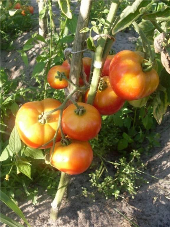 Томаты сорта взрыв: характеристика и описание, особенности выращивания