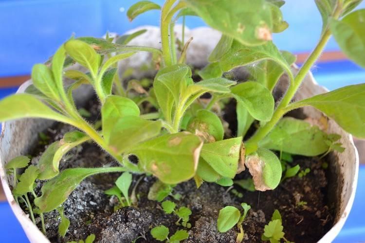 Петуния засыхает: что делать, если это происходит с нижними листьями и другими частями цветка, почему он увядает, как его спасти, а также секреты ухода за растением selo.guru — интернет портал о сельском хозяйстве