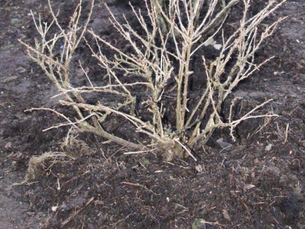 Крыжовник: уход осенью, подготовка к зиме, чем подкормить для хорошего урожая, чем удобрять, как ухаживать, как укрыть