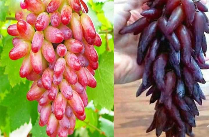 Виноград дамские пальчики: описание сорта, уход, отзывы, фото