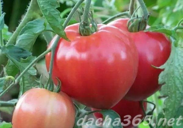 Томат розовый спам: отзывы, фото, урожайность, характеристика и описание сорта