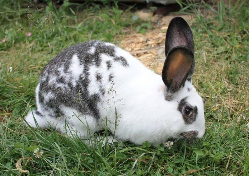 Кролики бабочка: содержание, разведение, уход, кормление