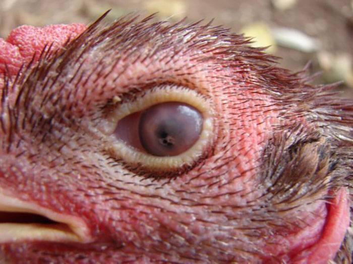 Все о болезнях глаз у курочек