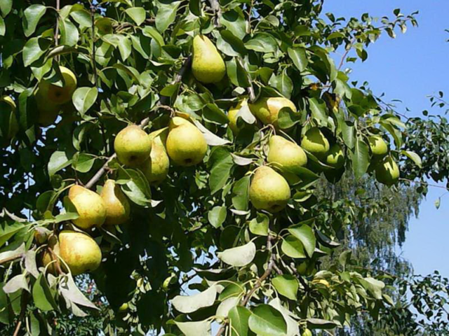 Что делать если груша не плодоносит: меры лечения и профилактики