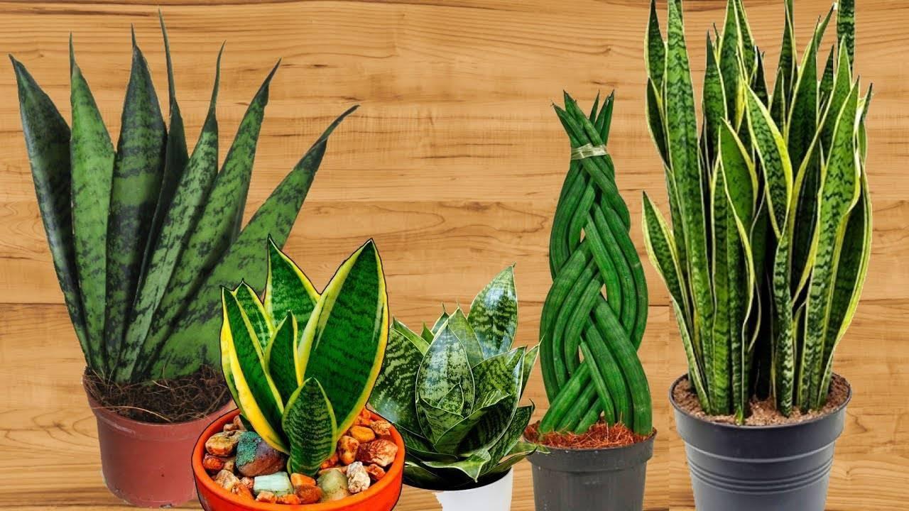 Сансевиерия лауренти: фото цветка, советы по уходу в домашних условиях, а также ботаническое описание selo.guru — интернет портал о сельском хозяйстве