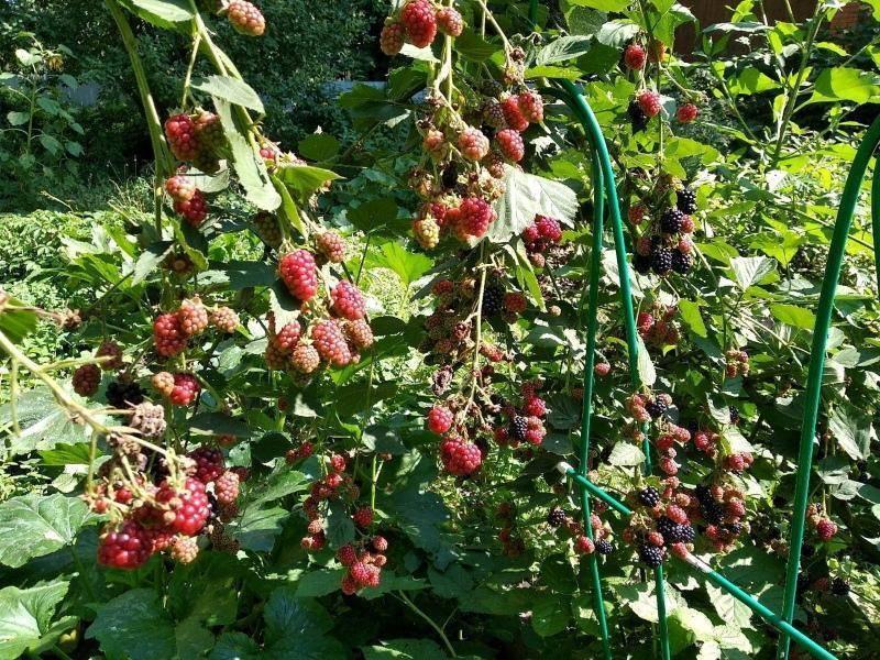 Ежемалина - как правильно посадить и выращивать, сорта и особенности ухода