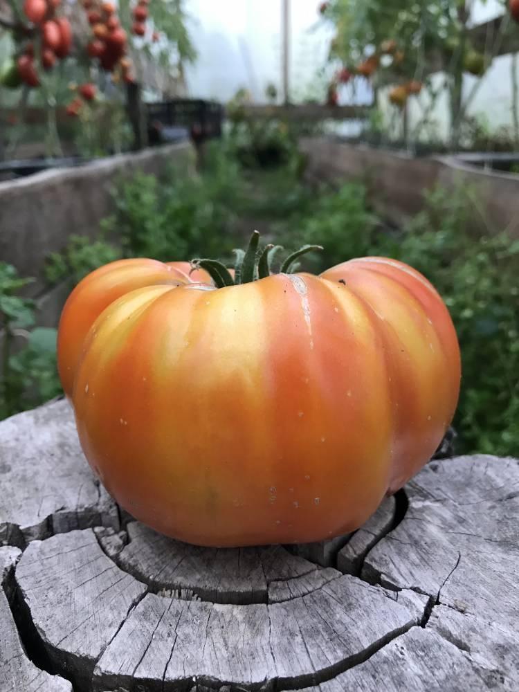 Томат медовый салют - описание сорта, фото, урожайность, отзывы огородников